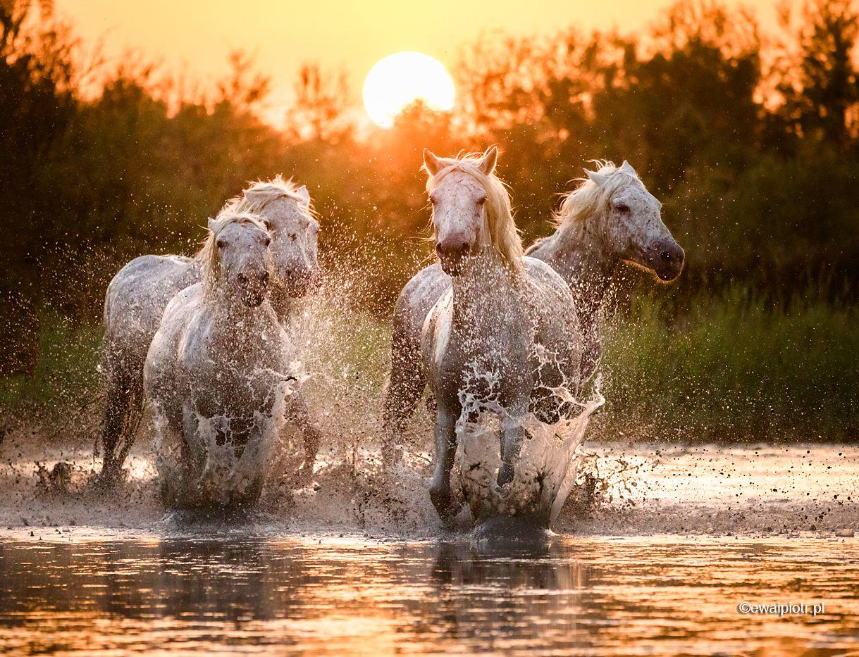 Białe konie z Camargue, bieg przez wodę, fotowyprawa faq