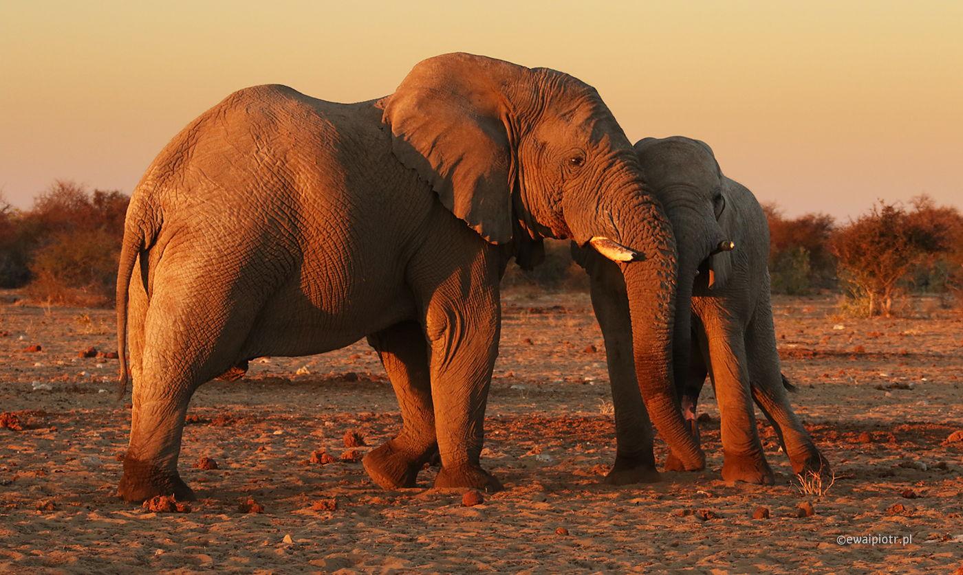 Słonie gotowe do portretu, Namibia, Etosza, warsztaty fotograficzne