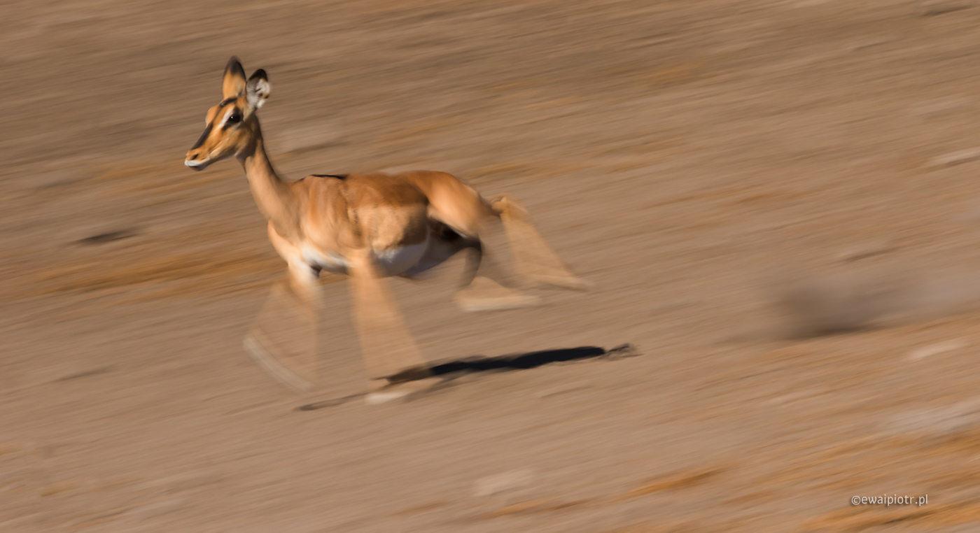 Pędząca antylopa, Namibia, Etosza, panoramowanie