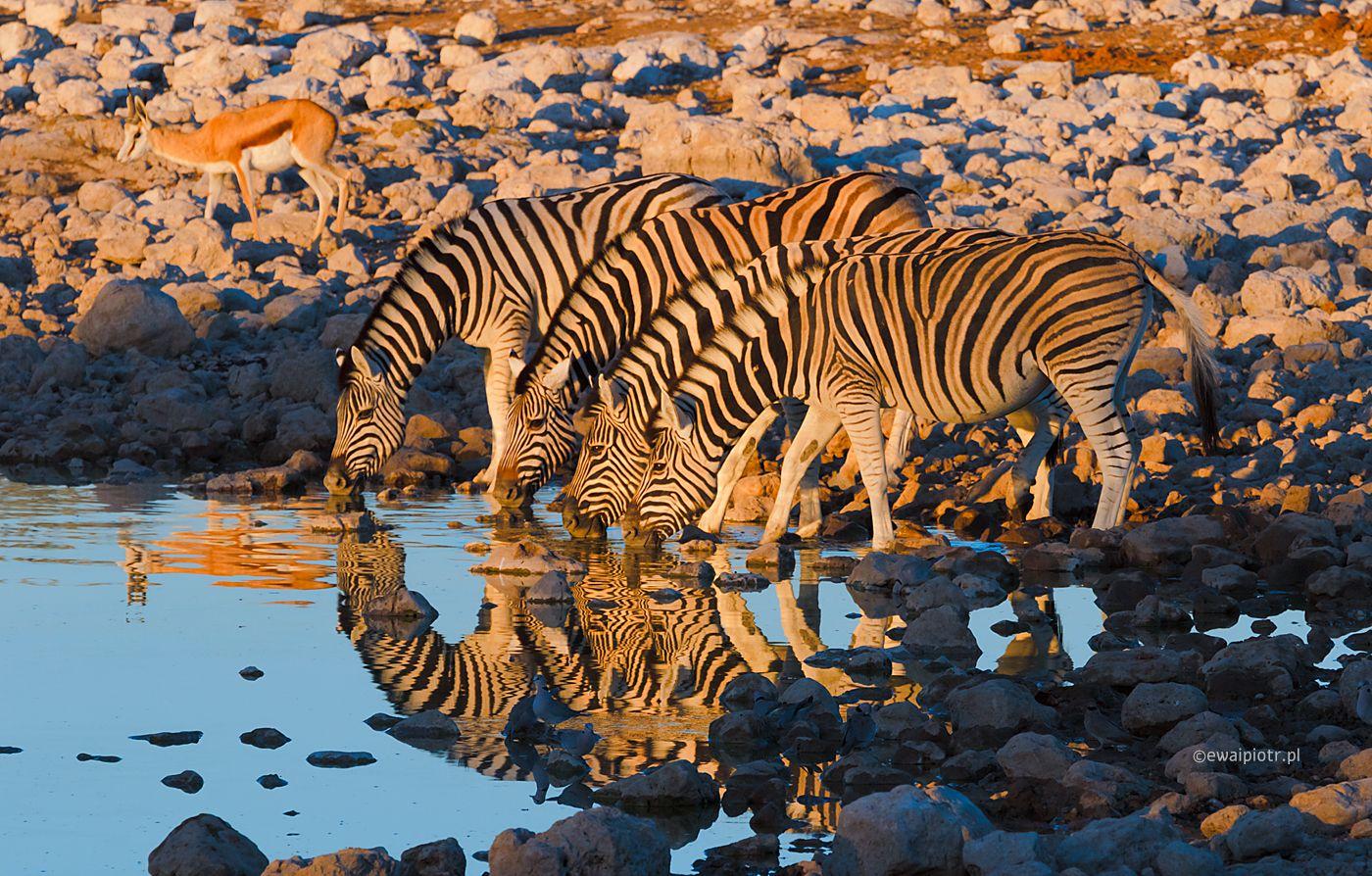 Pijące zebry, Etosza, Namibia fotowyprawa
