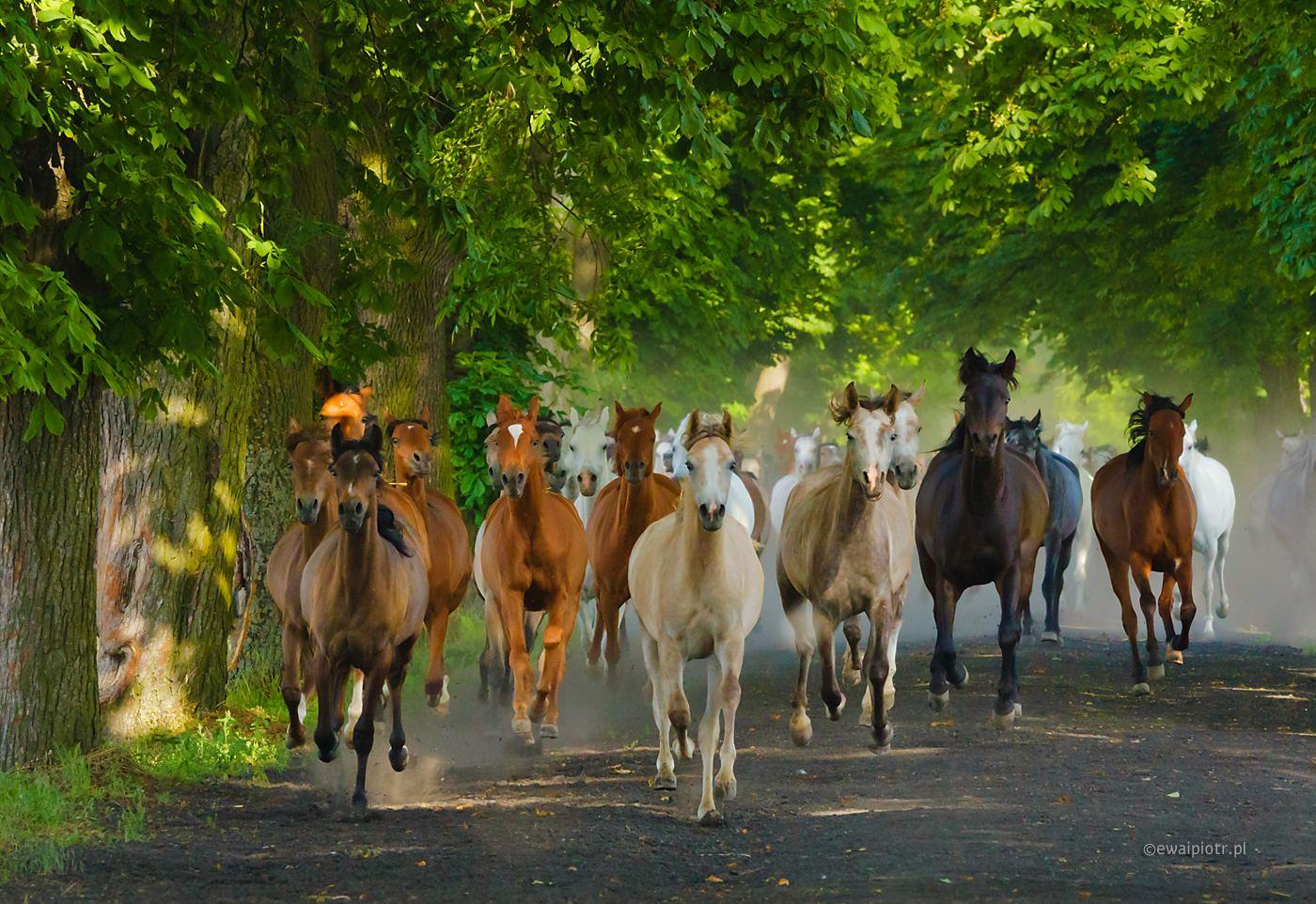 Konie arabskie z Michałowa, warsztaty fotograficzne Czarowne Świętokrzyskie