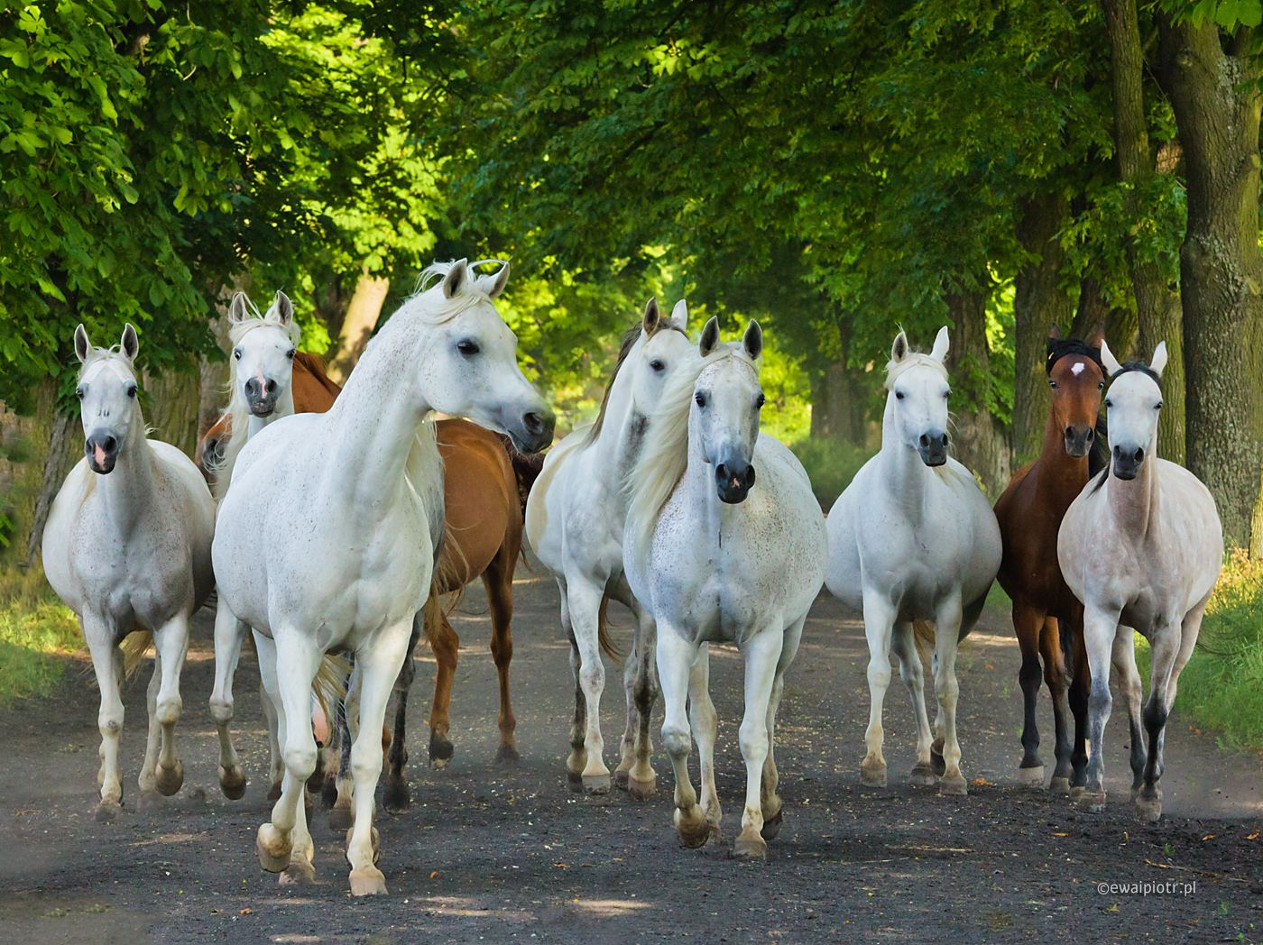 Araby z Michałowa, konie w biegu, warsztaty fotograficzne, Świętokrzyskie