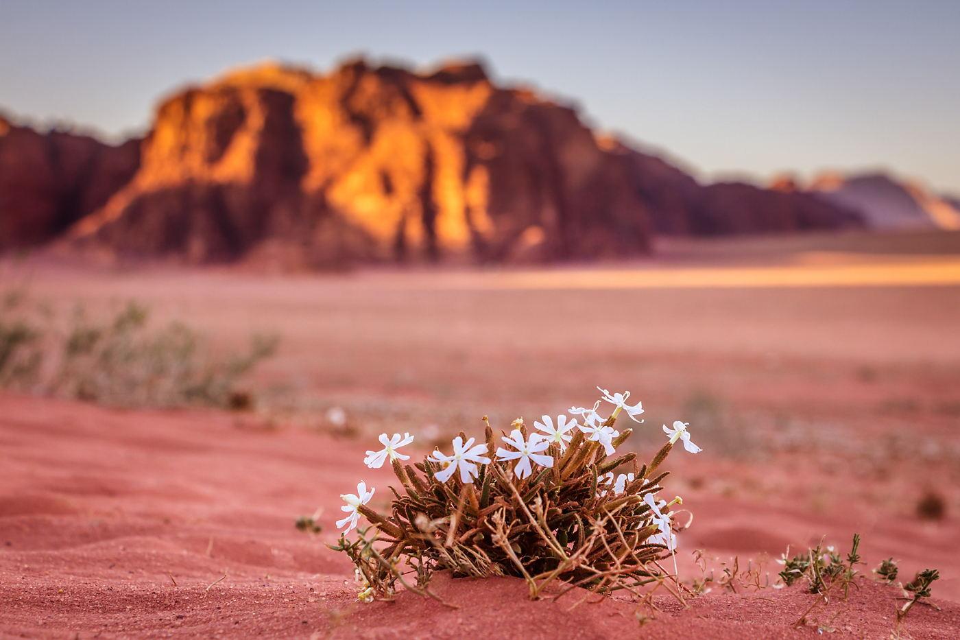 Kwiaty na pustyni Wadi Rum, wiosna w Jordanii, wyprawa fotograficzna