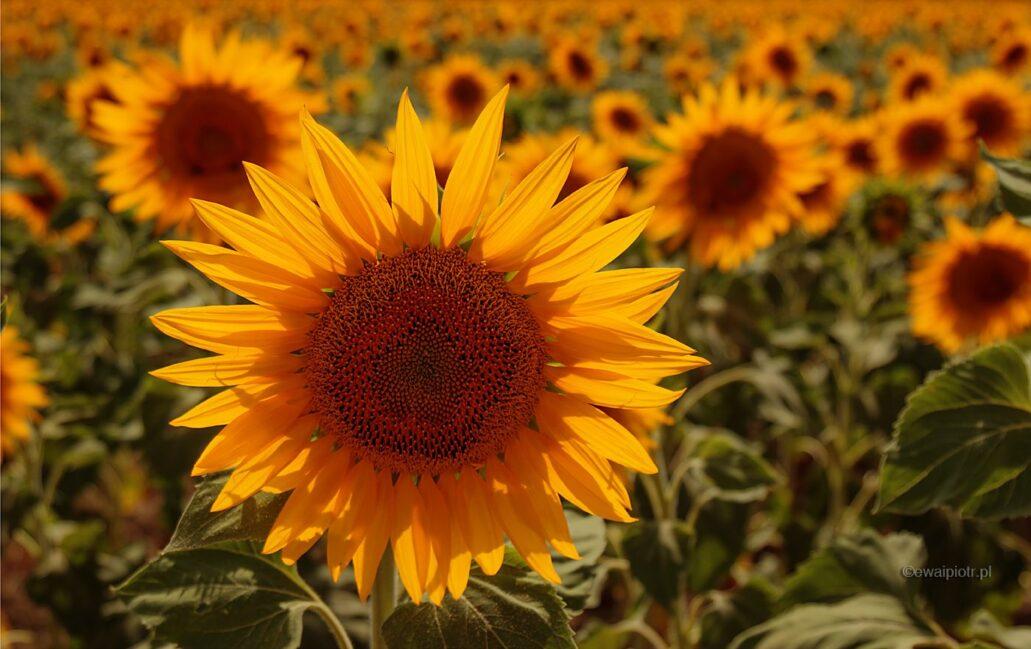 Słoneczniki w kraju Van Gogha, Prowansja, fotowyprawa