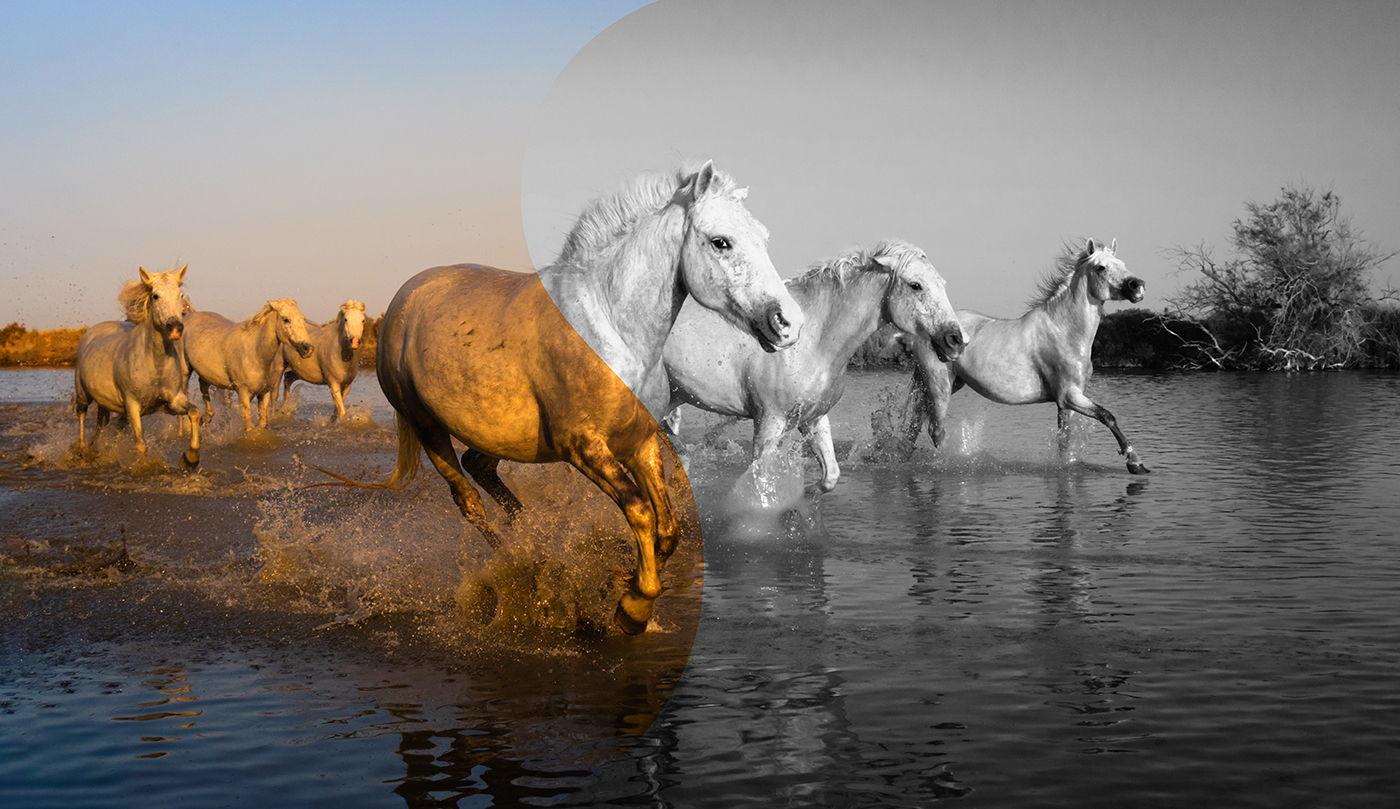 Czarno-białe konie z Camargue