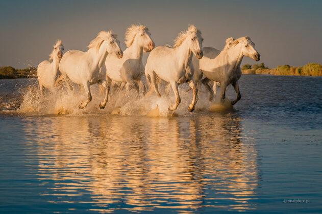 Białe konie z Camargue, Prowansja fotowyprawa