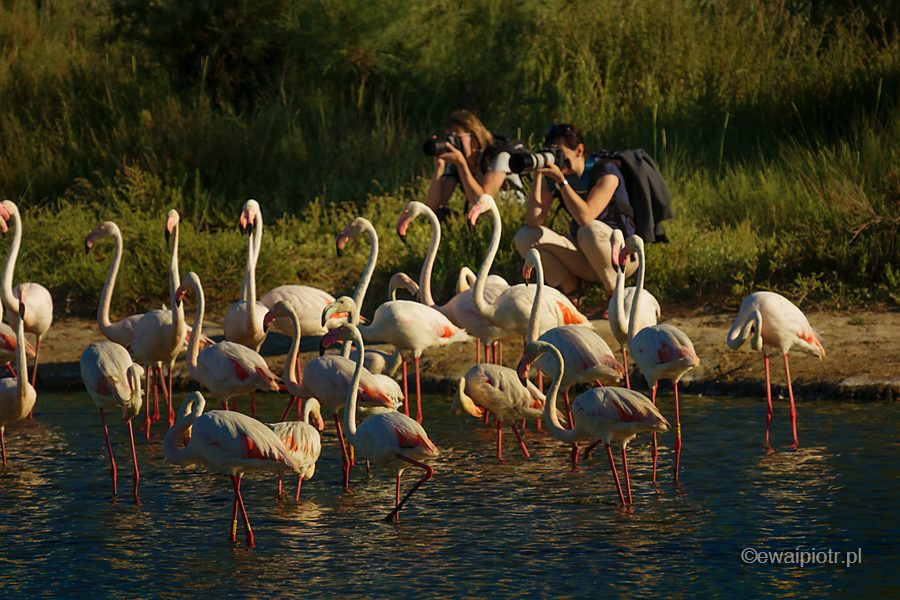 Flamingi z bliska, warsztaty fotograficzne, Prowansja, Francja