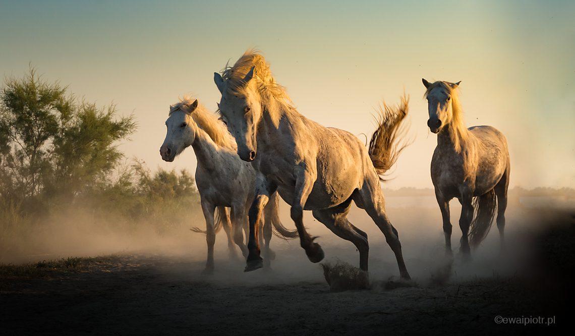 Konie w galopie, Prowansja, Camargue, wyprawa foto