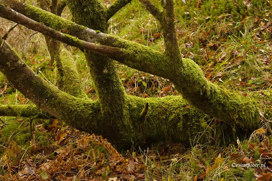 Deszczowy las, Szkocja