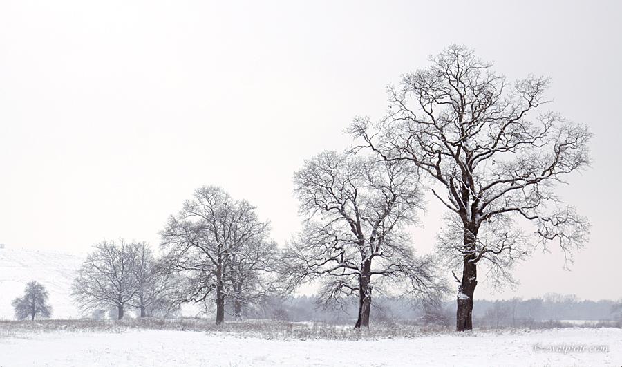 Idealny plener - dęby zimą