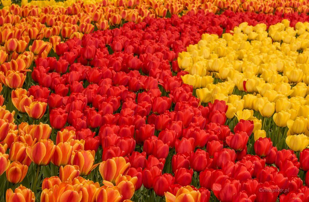 Jak fotografować czerwone kwiaty