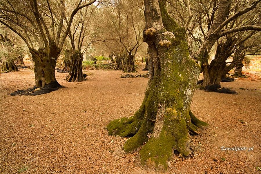 Gaj oliwny, Kreta, przewodnik po wyspie