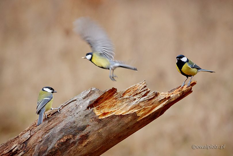 jak fotografować ptaki
