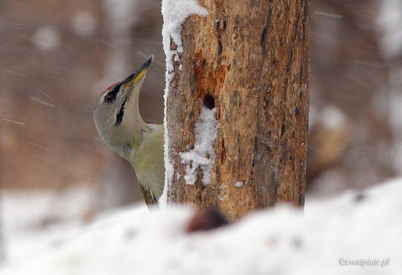 Dzięcioł zielony w zimie, fotografowanie w śniegu