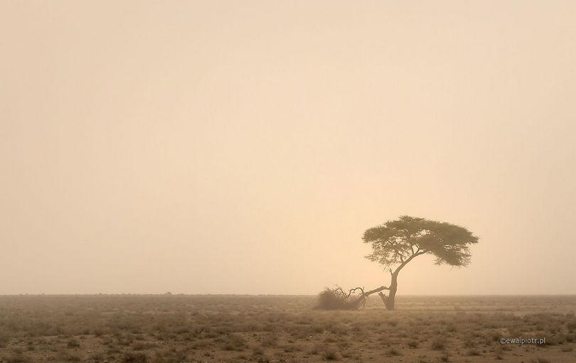 Burza piaskowa - Namibia, samotne drzewo, Etosha