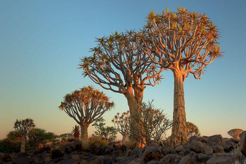 Drzewa kołczanowe, Namibia, Quiver trees, co fotografować w Namibii