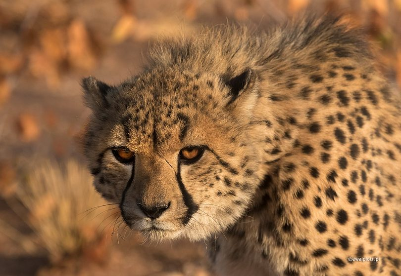 Gepard z farmy, Namibia, fotografia dzikich zwierząt